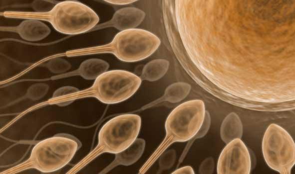Sperm heading toward an ovum