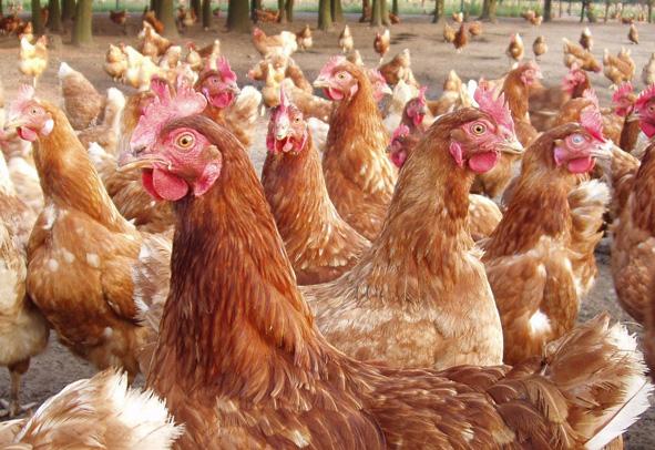 chickens_591.jpg