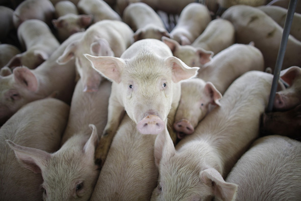 Swine Flu linked to US Smithfield Factory in Mexico