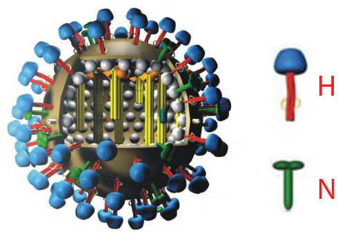 schematic of flu virus with H and N proteins on surface